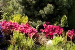 Różaneczniki i Azalie